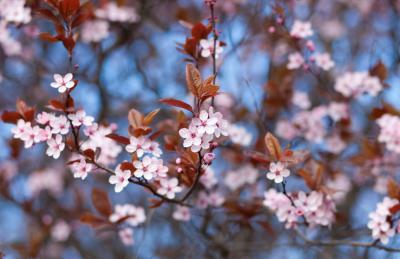 bronze leaf cherry tree
