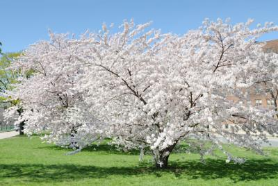 white flowering cherry tree in sun