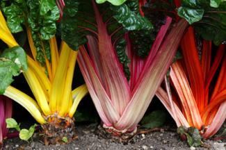 edible rainbow chard
