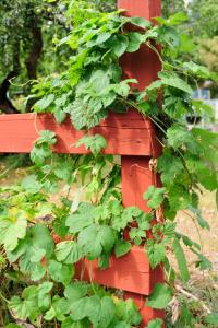 hops growing on a fence