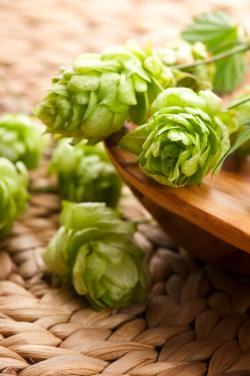 hops after harvest