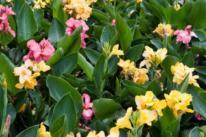 yellow and pink canna lilies