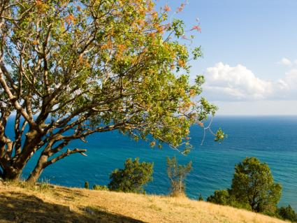 pistachio tree with a view of the ocean