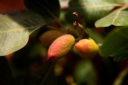 pistachios ready for harvest