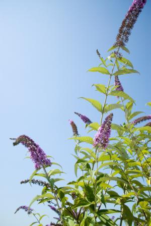 butterfly bush in bloom