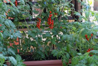Bunches of cherry tomatoes on roof top garden