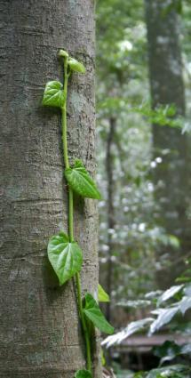 Tree as trellis