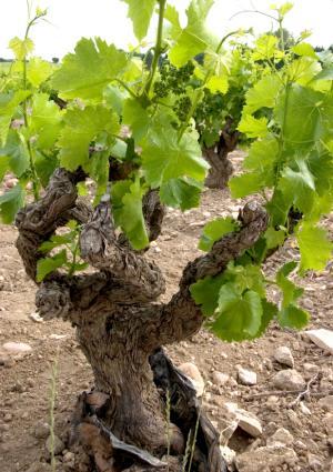Grape vine in tree form