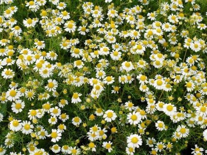 roman chamomile in flower