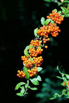 pyracantha with orange berries