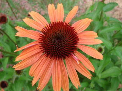 exotic coneflower color