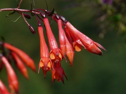 tubular fuchsia flowers