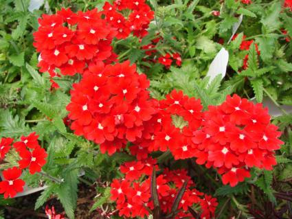 red trailing verbena