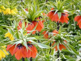 crown imperial fritillary