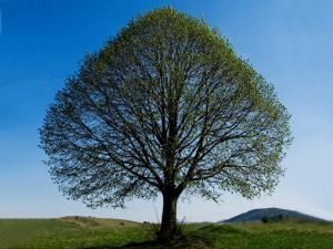 Linden Tree   All About Linden Trees