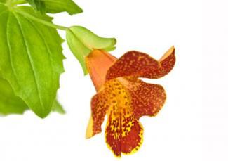 Monkey flower hybrid found in Magic Blotches/Calypso Mixes