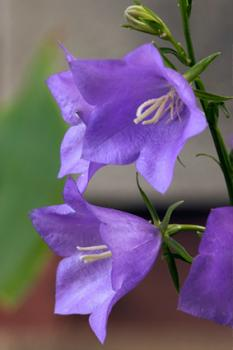 Peachleaf bellflower