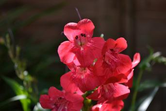 penstemon flowers