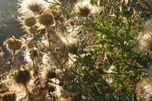knapweed seedheads
