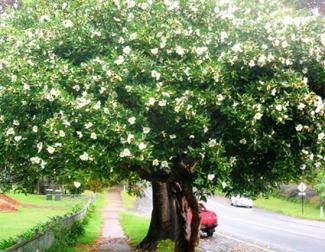 Gordonia Tree