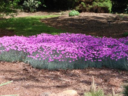 carpet of pink carnations