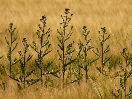 thistle plants