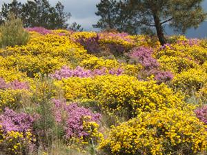 yellow and purple heather