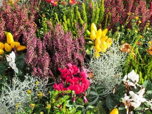 heathers mixed with perennials
