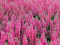 spikes of erica blossoms