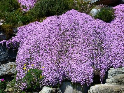 purple flowering ice plant