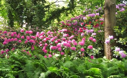 rhododendron with shade plants