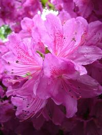 rhododendron close up