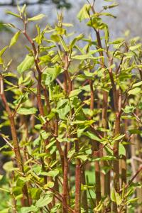 knotweed canes