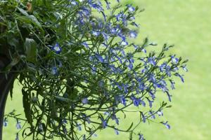 lobelia cascading from planter