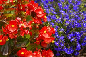lobelia with begonia