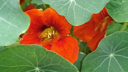 nasturtium up close