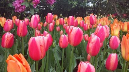 Tulips grow from bulbs
