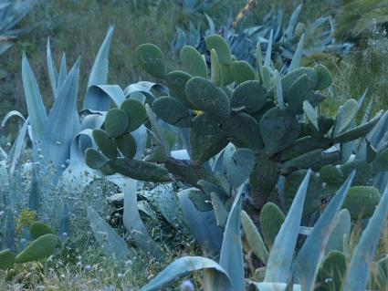 prickly pear planted with agave