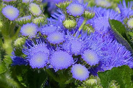 powder blue ageratum