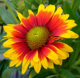 blanket flower close up