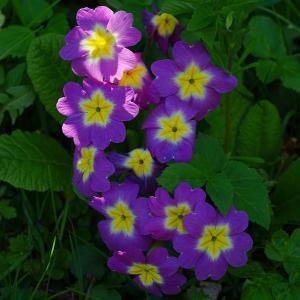 polyantha primrose