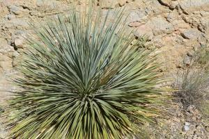 yucca growing conditions