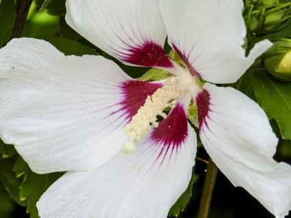 swamp hibiscus