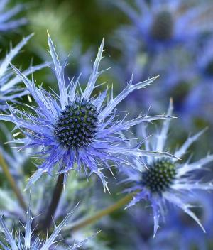 sea holly flower