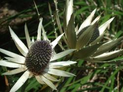 pale hued sea holly