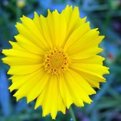 coreopsis flower
