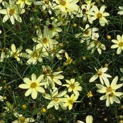 coreopsis cultivar