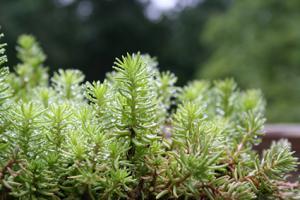 low growing stonecrop