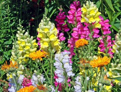Snapdragon varieties
