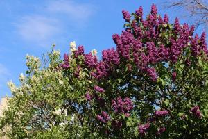 lilac shrubbery